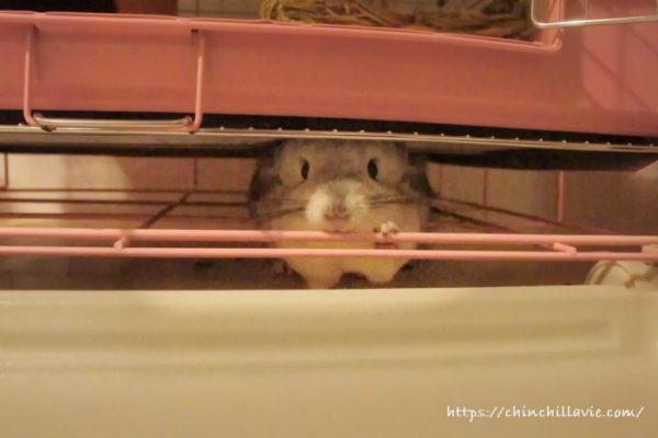チンチラケージの下に潜り込むのも大好きなティモ