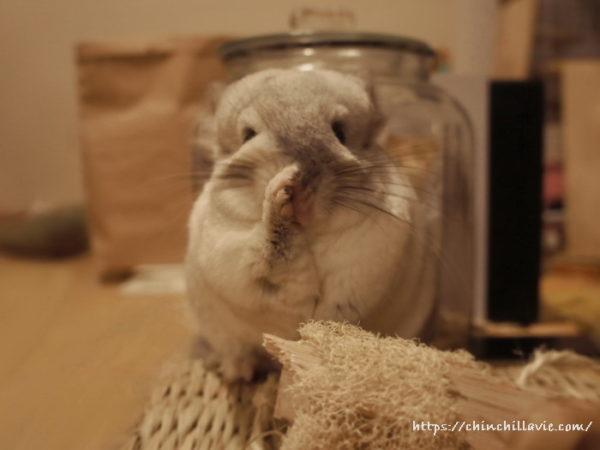 チンチラ「ティモ」の鼻を拭うしぐさ:てやんでぃ~