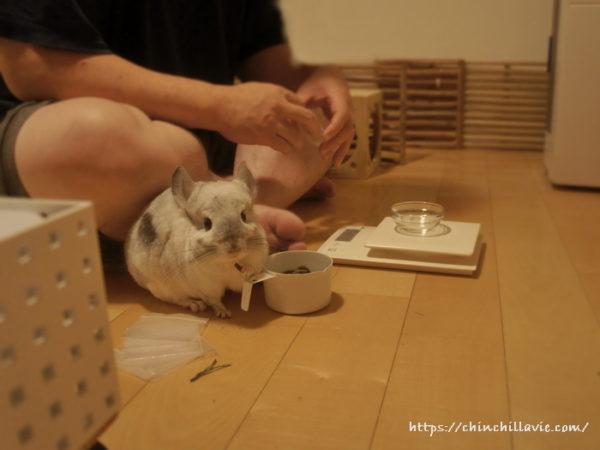 ペレットの小分け作業をしていると、決まってツマミ食いしにやってくるチンチラのティモ