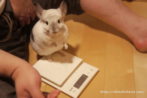 チンチラ「ティモ」の体重測定