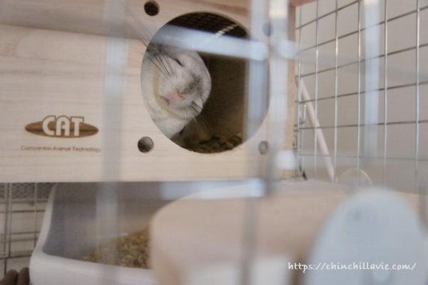 チンチラ「ティモ」の巣箱でのお昼の過ごし方