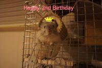 チンチラのティモ 2歳の誕生日
