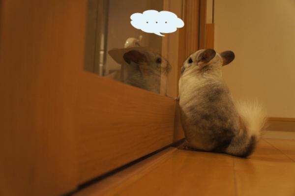 チンチラのティモ へやんぽ中 ガラス扉からリビングを眺める様子