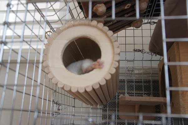 チンチラのティモのお昼の一コマ SBSコーポレーションの円筒巣箱から片足を出して熟睡しているところ