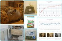 チンチラのティモの飼育観察記録 生後1歳6ヶ月 2015年12月の記録 chinchilla timo