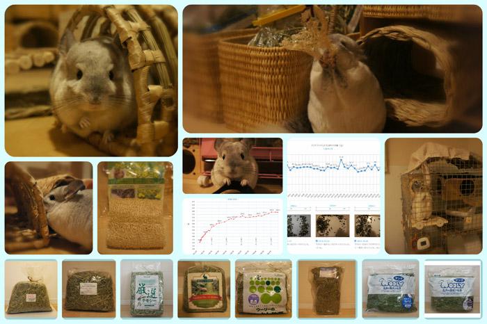 チンチラのティモの飼育観察記録 生後1歳4ヶ月 2015年10月