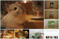 チンチラのティモの飼育観察記録 生後1歳10ヶ月の2016年4月の記録