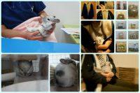 チンチラのティモの飼育観察記録 生後1歳8ヶ月 2016年2月