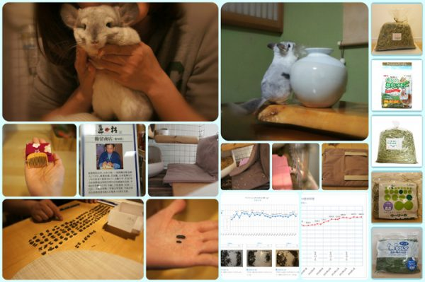 チンチラのティモの飼育観察記録 生後19ヶ月 1歳7ヶ月 2016年1月