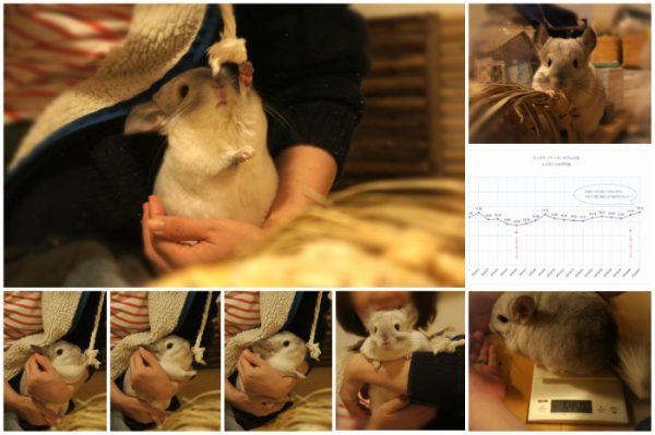 チンチラ「ティモ」の飼育観察記録 2016年7月 生後2歳1ヶ月