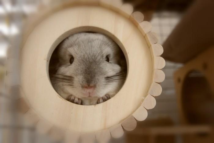 SBSコーポレーションさんの円筒巣箱から顔を覗かせるチンチラのティモ