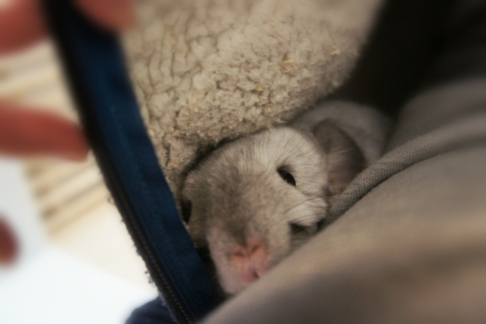 部屋着パーカーの中に潜り込んでぴょっこり顔を覗かせるチンチラのティモ
