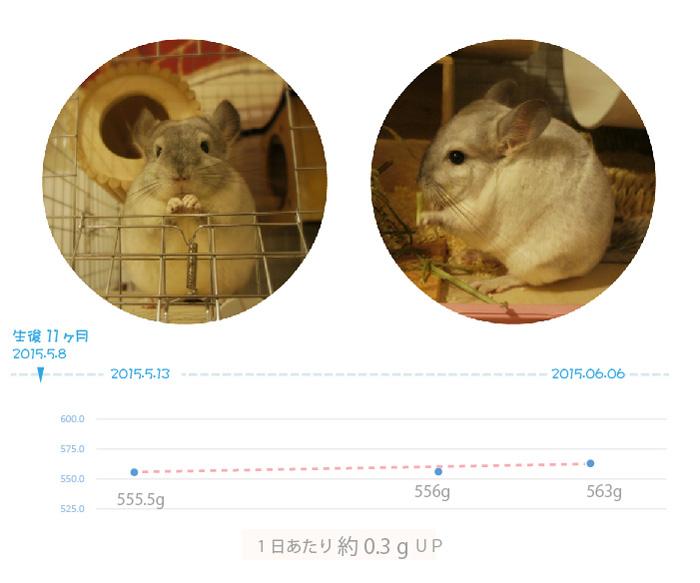 チンチラのティモ 生後11ヶ月の体重の変化