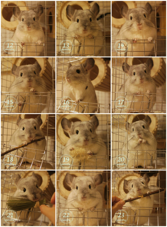 チンチラのティモの成長の様子 1歳 顔立ちの変化
