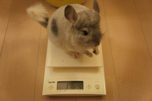 チンチラのティモの体重測定の様子
