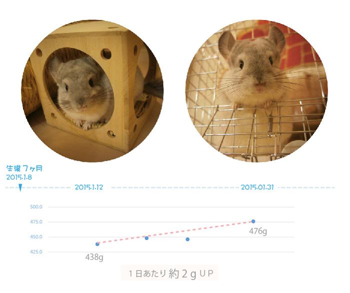 チンチラのティモ 生後7ヶ月の体重の変化