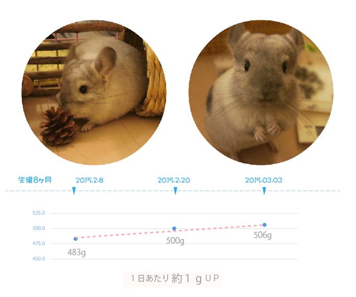 チンチラのティモの体重の変化 生後8ヶ月