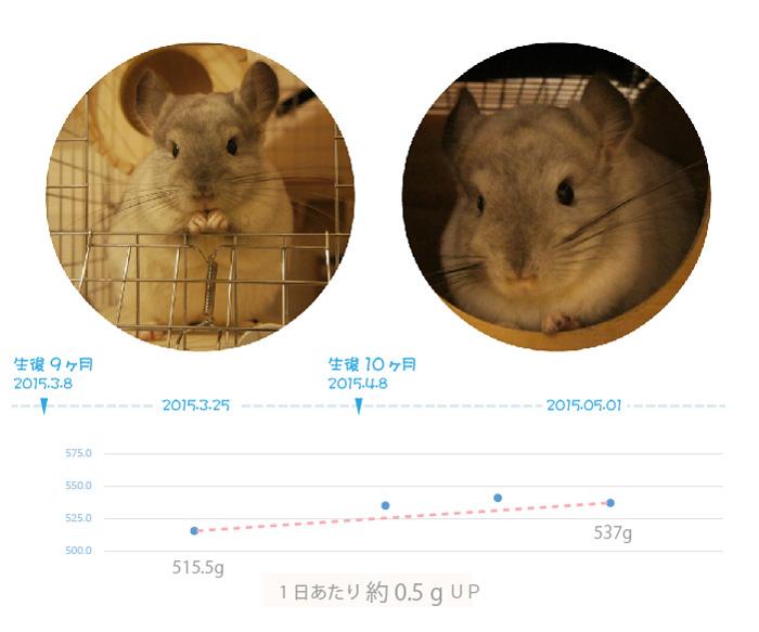 チンチラのティモの体重の変化 生後9ヶ月と10ヶ月
