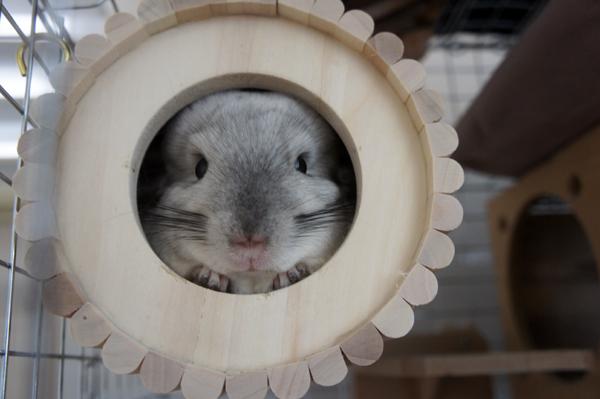 チンチラのティモの1番お気に入りな巣箱 SBSコーポレーションの円筒巣箱