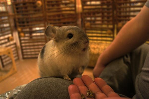 チンチラのティモ ペレットは手で与えています