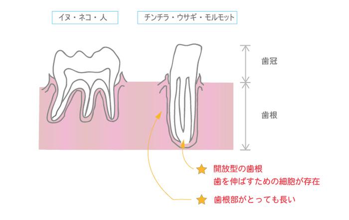 チンチラの歯根 イメージ げっ歯類とウサギの臨床歯科学を参考に作成