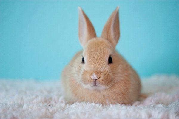 ウサギの写真 ウサギはウサギ目